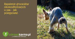 Zapalenie gruczołów okołoodbytowych i przetoka odbytu u psa