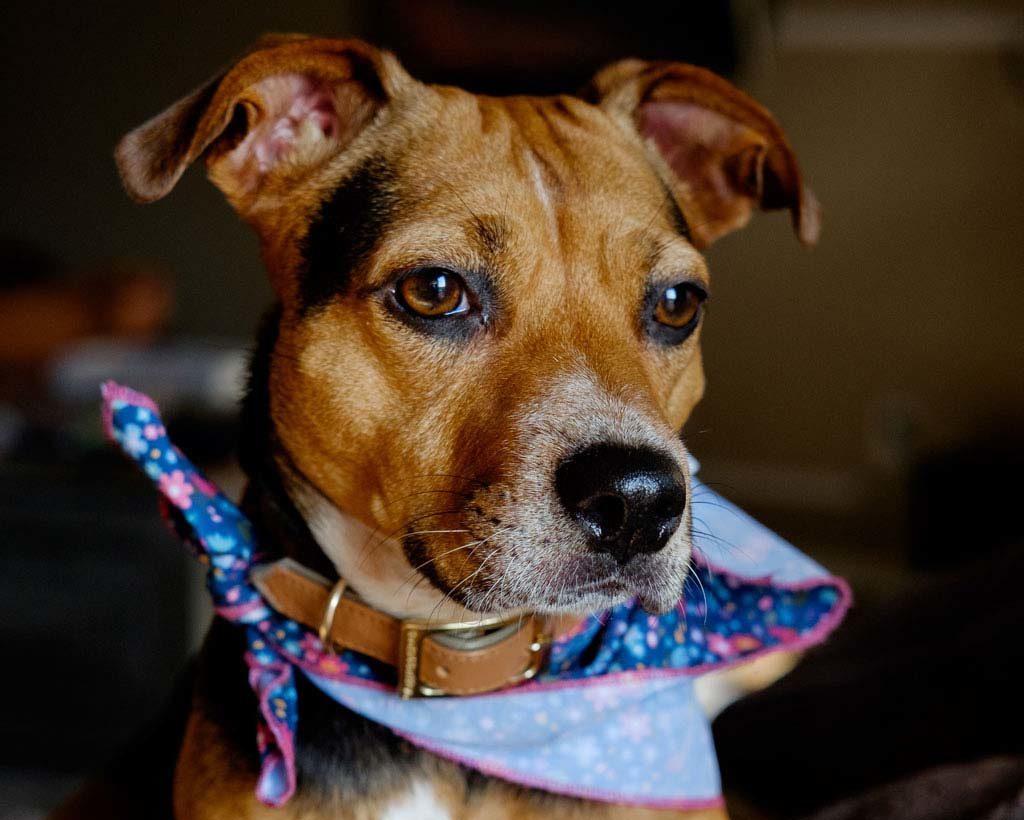 amstaff to idealny pies do mieszkania dla konsekwentnego opiekuna