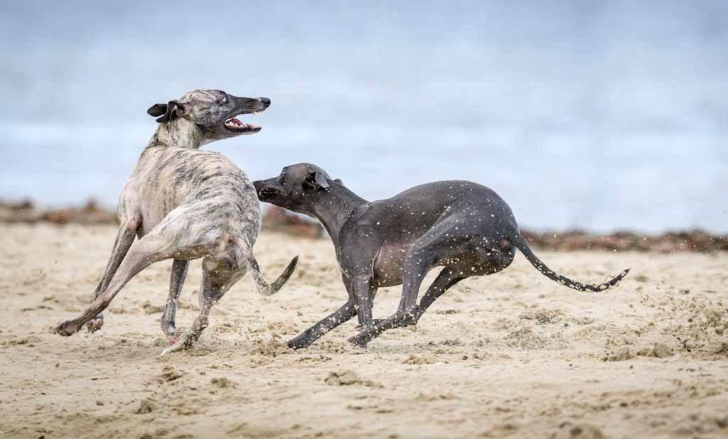 greyhound dobrze czuje się w mieszkaniu