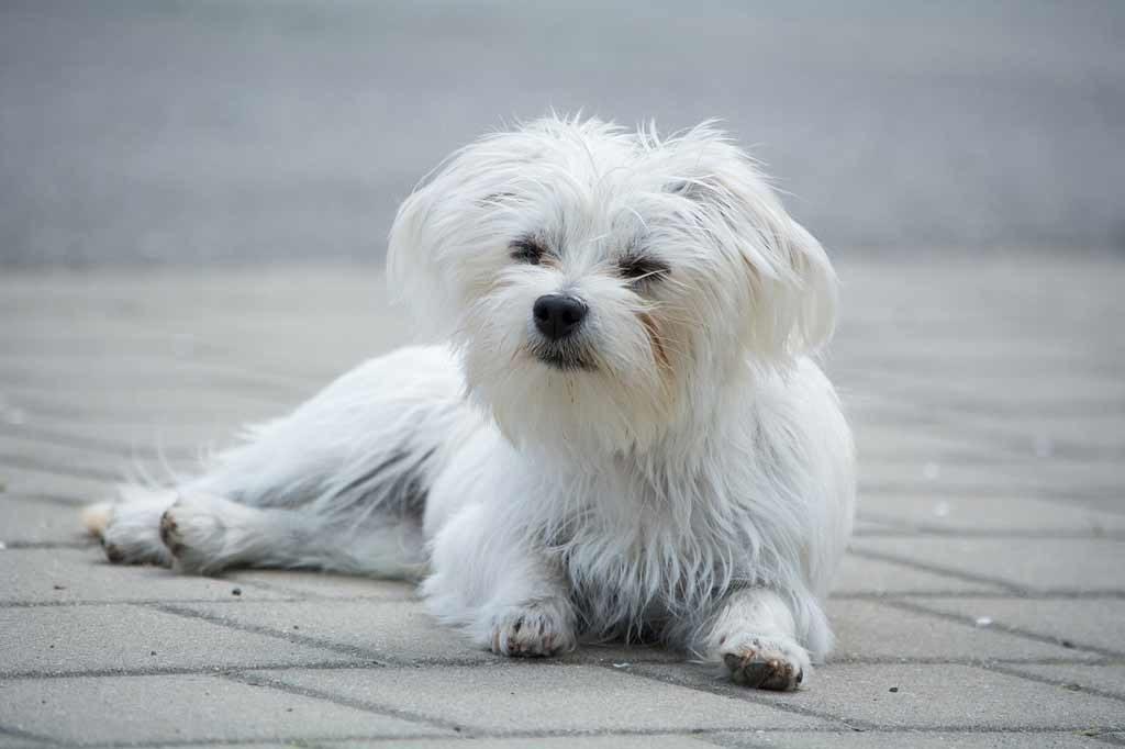 pies do mieszkania - maltańczyk