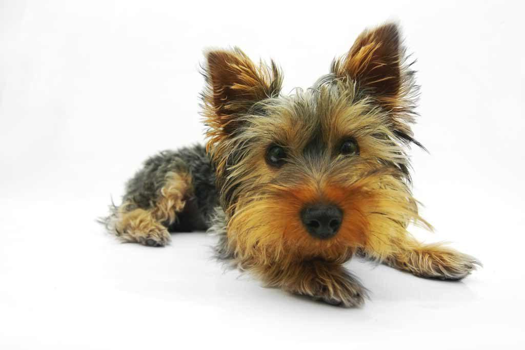 najlepszy pies do mieszkania - york