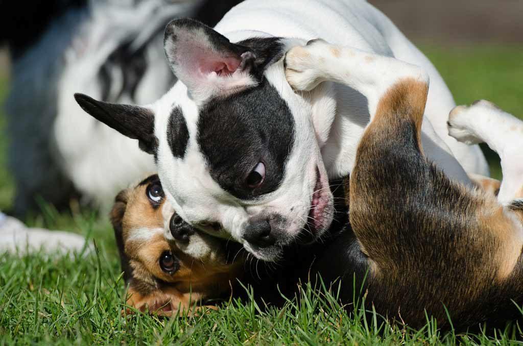 french bulldogsm