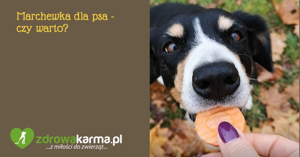 marchewka dla psa