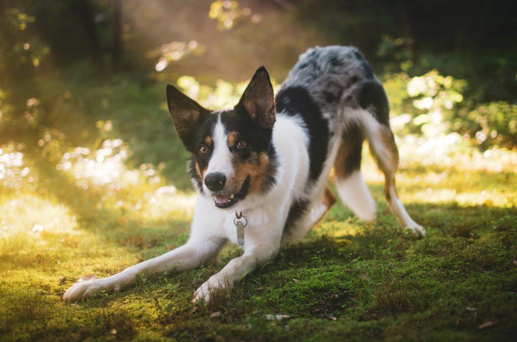 zdrowe stawy u psa