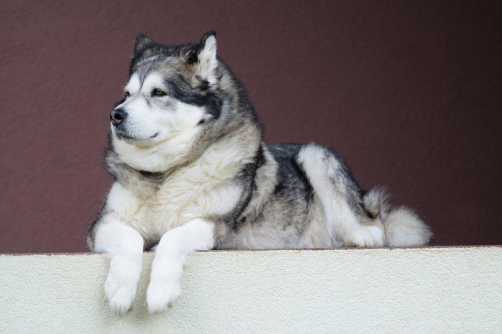pies dla introwertyka - malamut