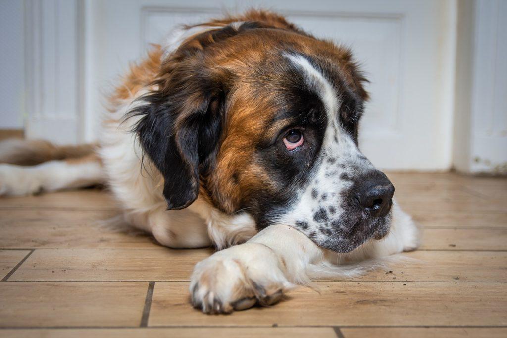 bernardyn - duży ale cichy pies dla introwertyka