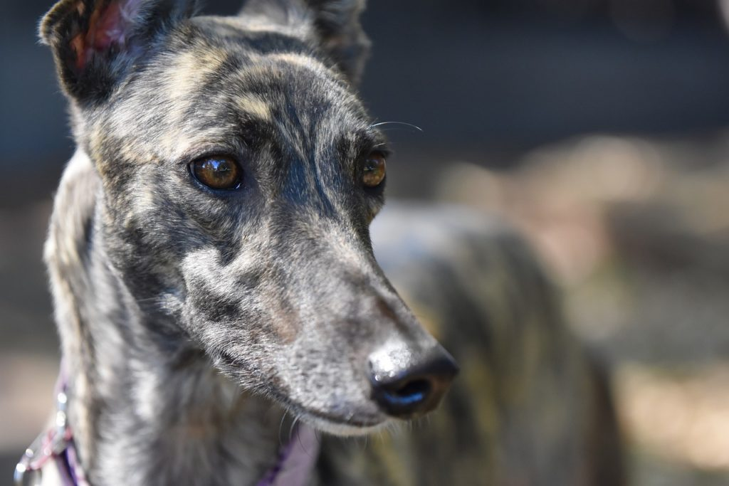 greyhound lubi przebywać w domu