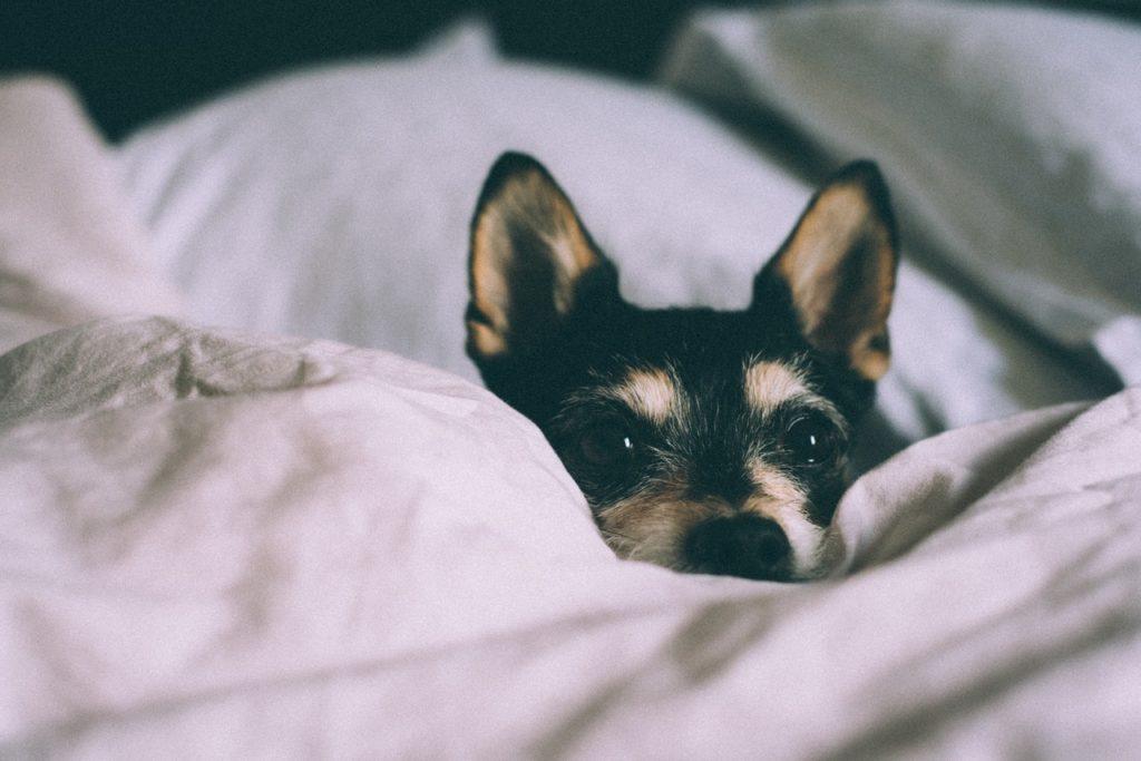 pies dla introwertyka - kundelek jest świetną alternatywą