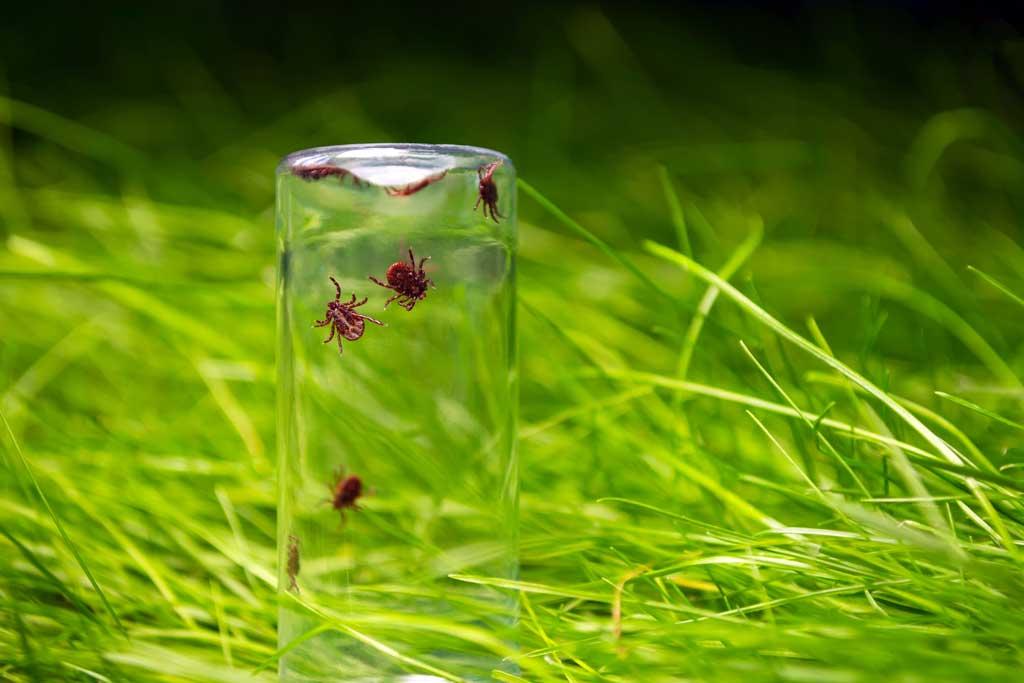 kleszcze na trawie