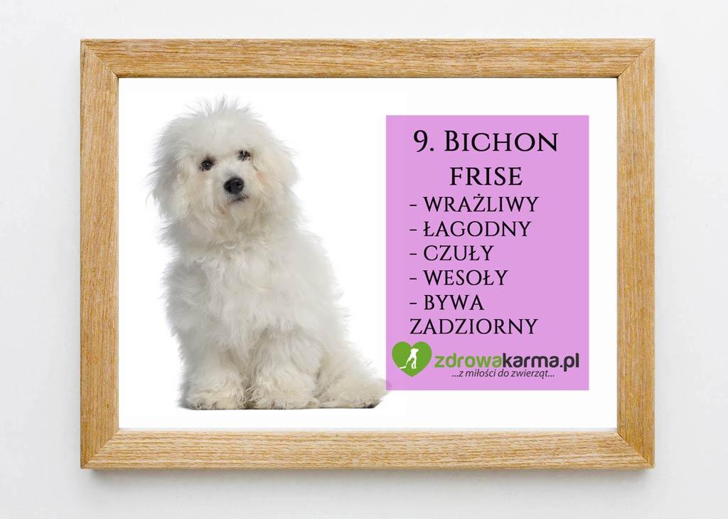 pies dla starszej osoby bichon frise