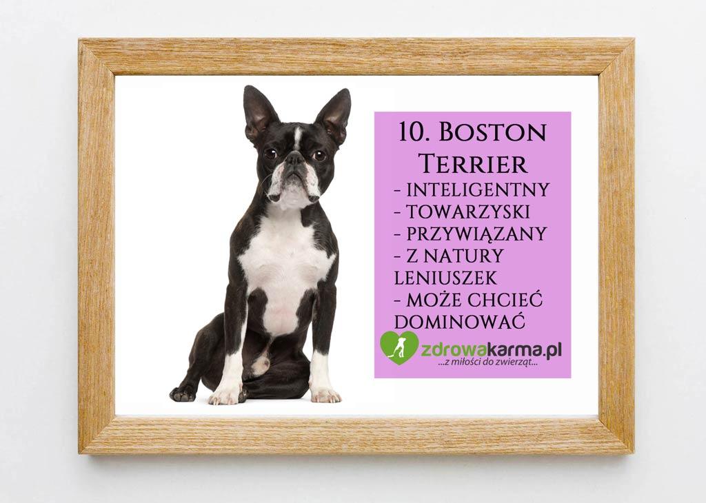 pies dla starszej osoby boston terrier