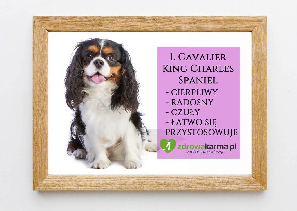 pies dla starszej osoby cavalier king