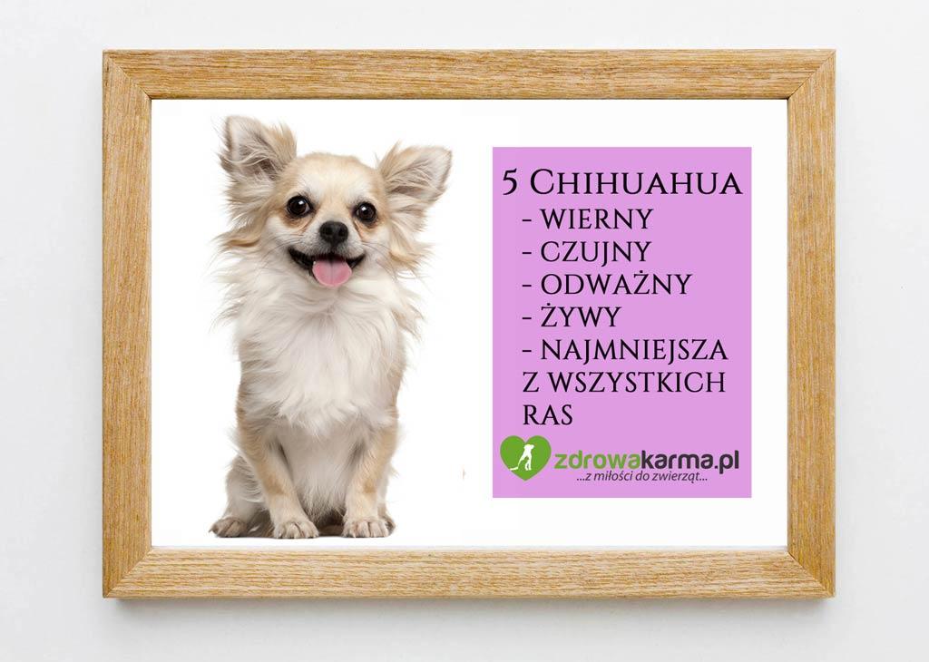 pies dla starszej osoby chihuahua