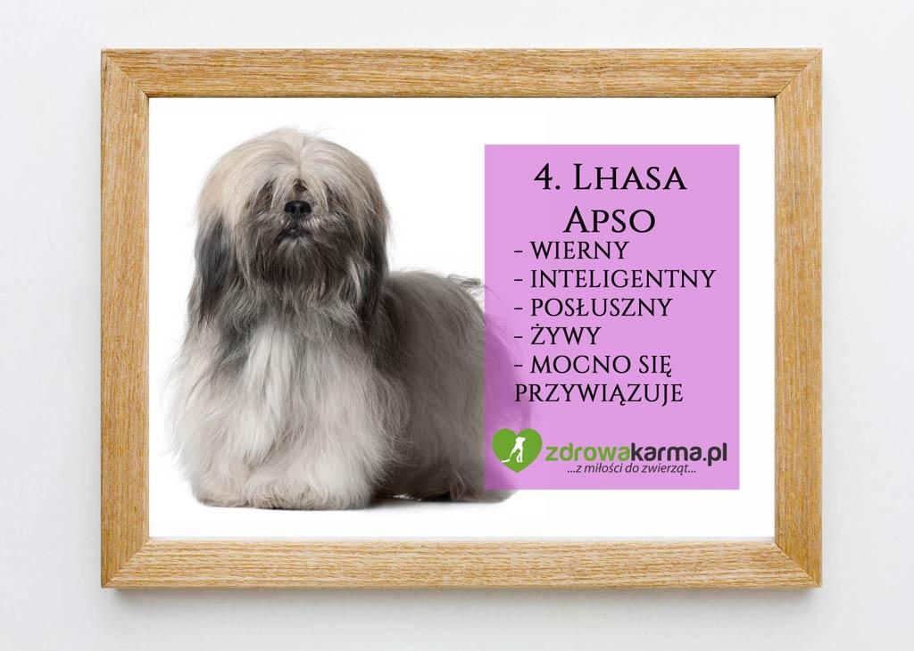 pies dla starszej osoby lhasa apso