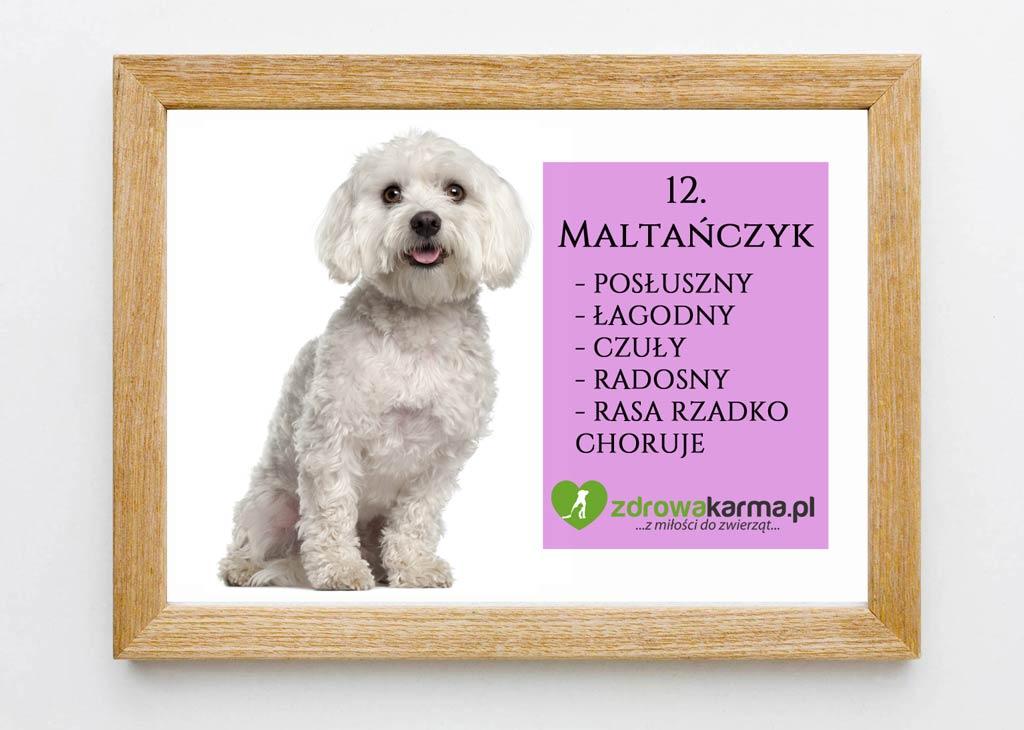 pies dla starszej osoby maltanczyk
