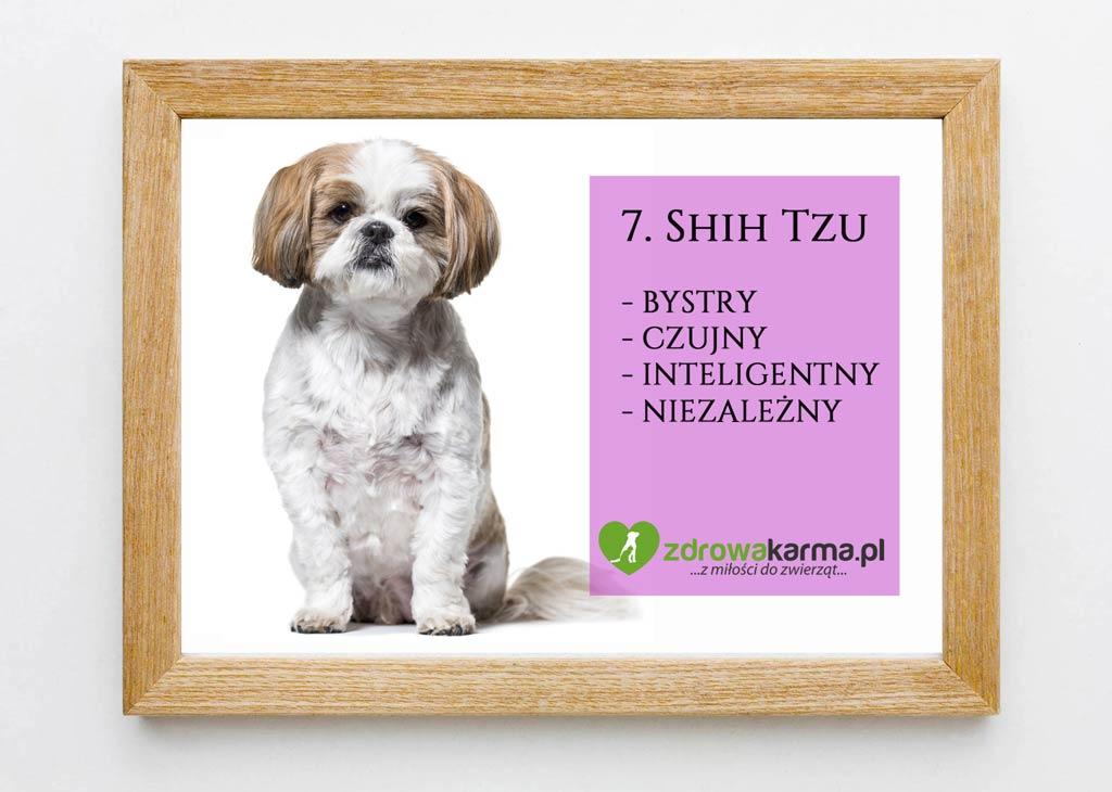 pies dla starszej osoby shih tzu