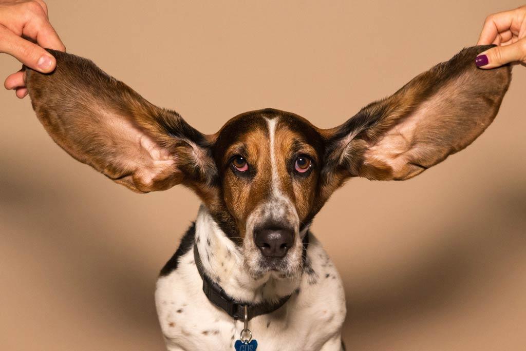 czyszczenie uszu psa infekcje ucha u psa