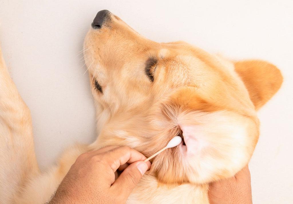 czyszczenie uszu psa