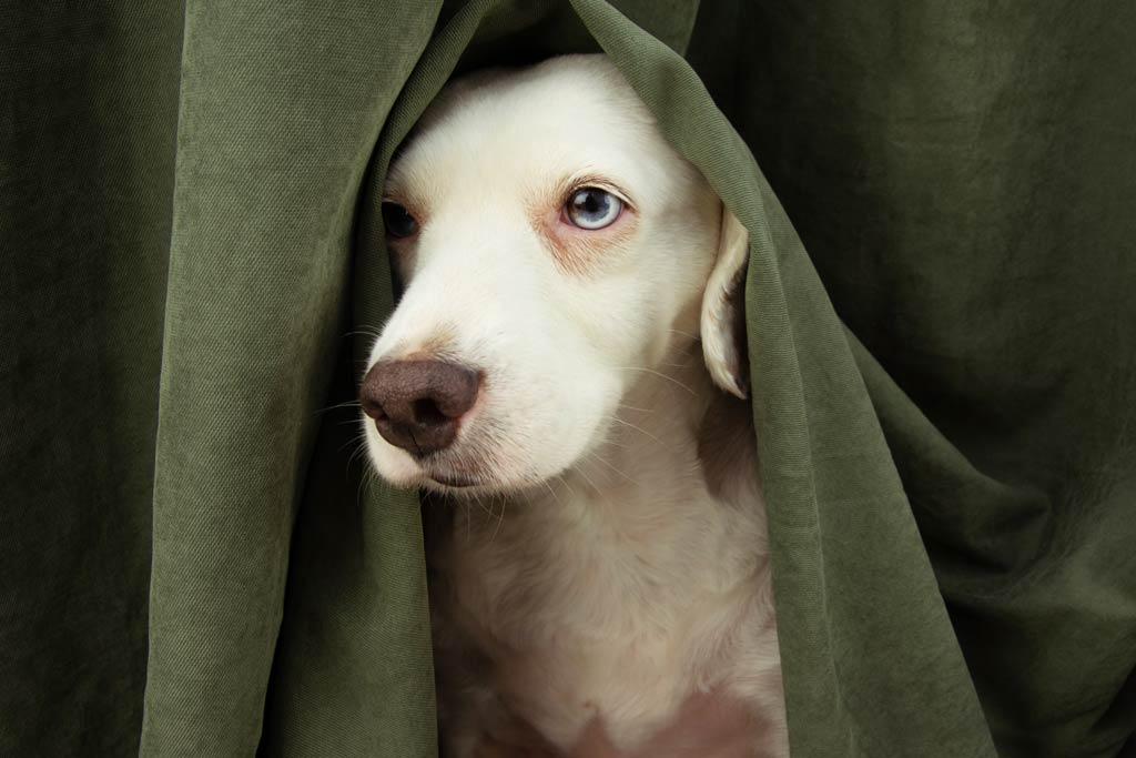 Dlaczego psy boją się wystrzałów - chowanie się