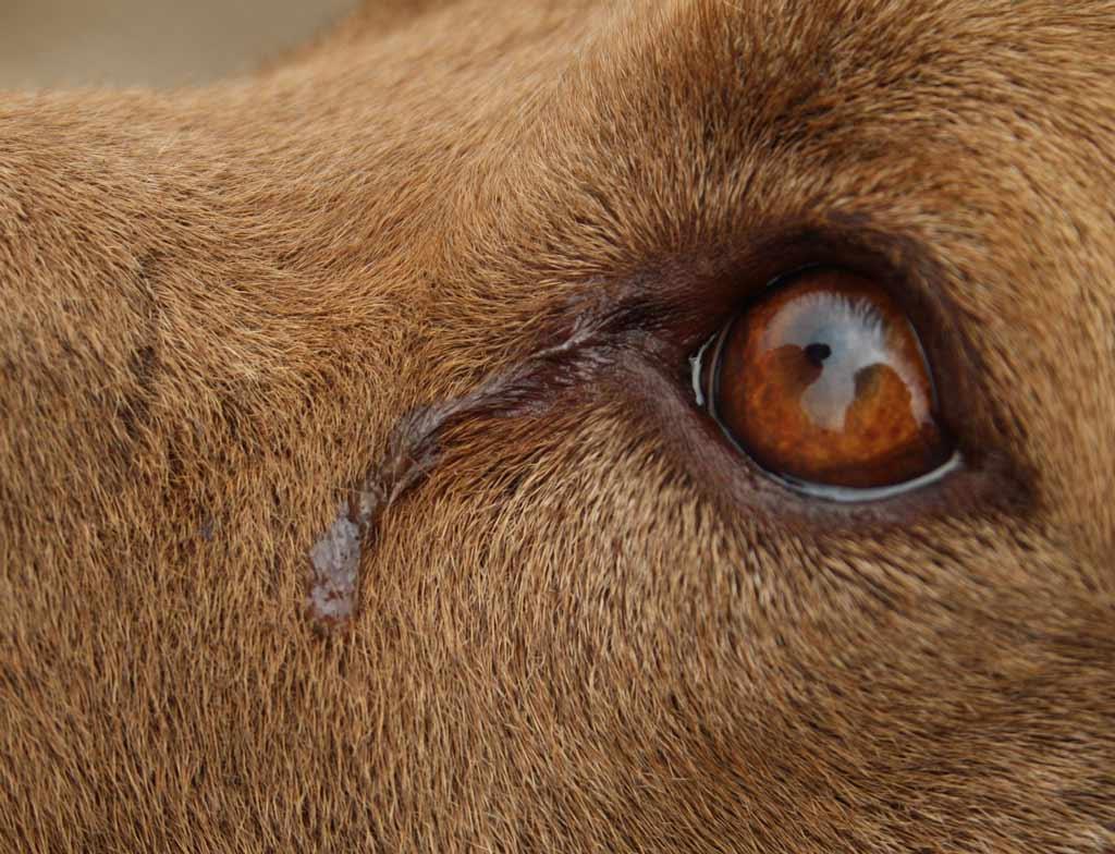 zacieki pod oczami u psa - łzy
