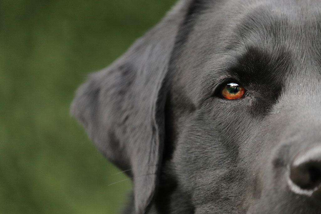 jakie są objawy utraty wzroku u psa?