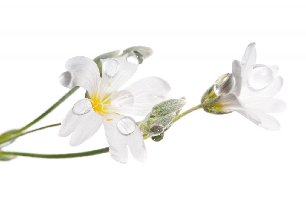 Gwiazdnica pospolita (Stellaria holostea) może pomóc przy zaparciach u psów