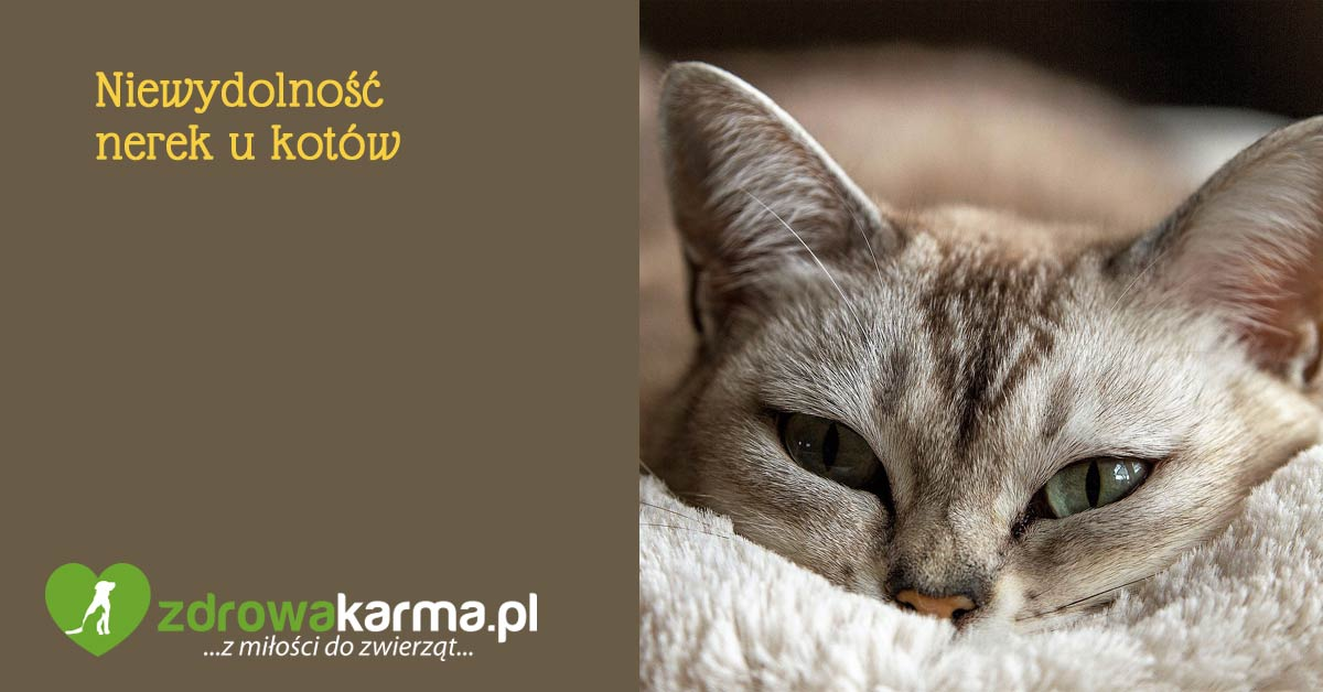 niewydolność nerek u kotów