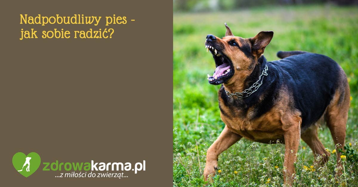 nadpobudliwy pies