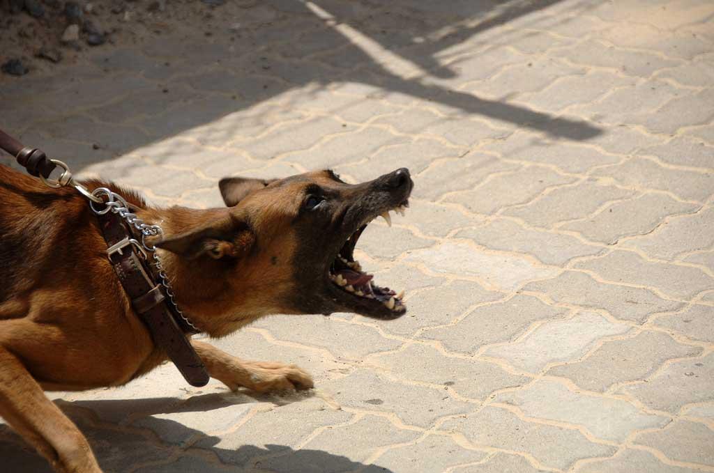 pies ściągany na smyczy czuje potrzebę bronienia osoby po jej drugiej stronie