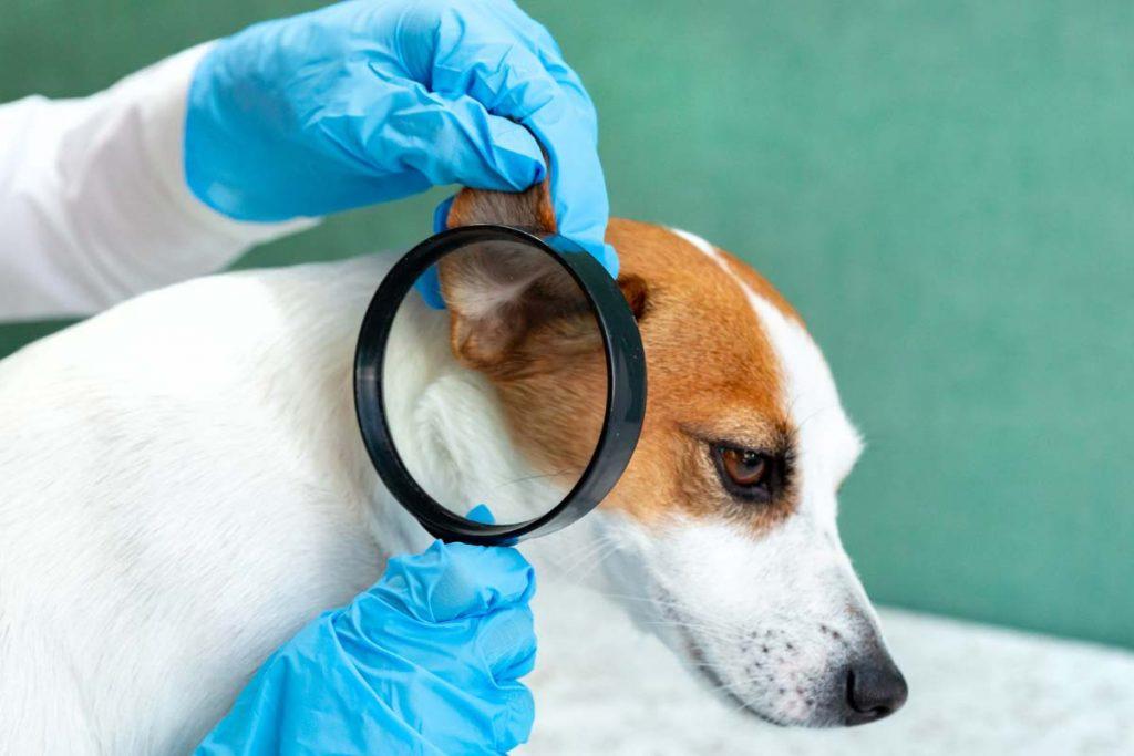 grzybica uszu u psa - postawienie diagnozy
