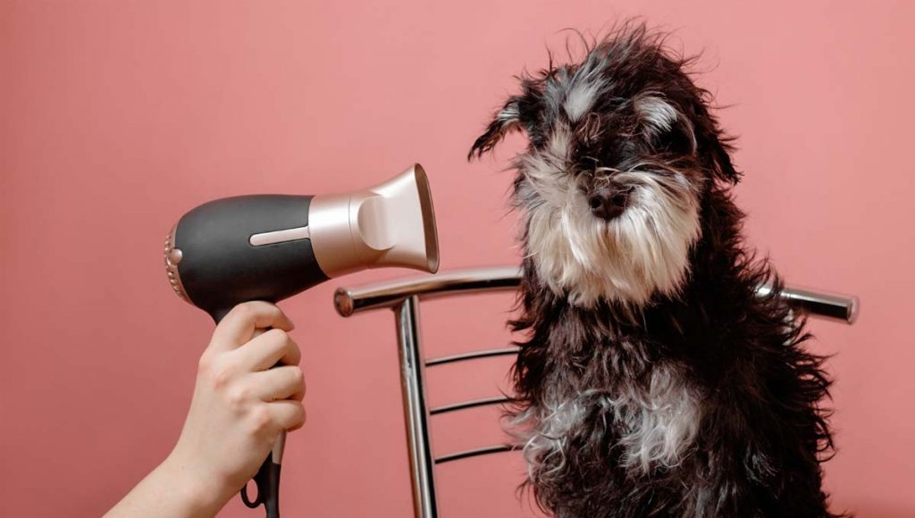 po kąpaniu psa  wysusz mu uszy